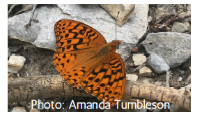 Carole's silverspot an orange butterfly with black spots, sitting on some rocks and sticks.
