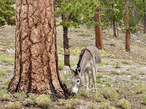pregnant burro grazes next to ponderosa pine