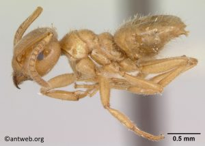 Micro view of Lasius nevadensis, brown ant.
