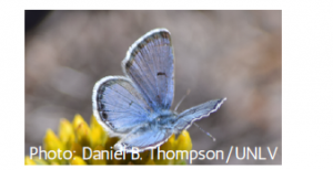 Mount Charleston blue butterfly, a blue butterfly with white along the edges of its wings, sitting on a yellow flower.