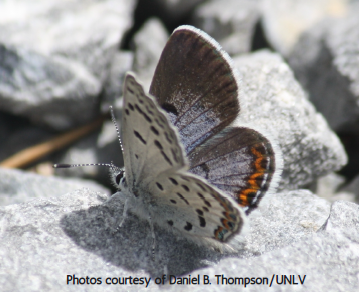 Mt Charleston blue butterfly sitting on rock.
