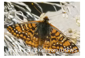 A Morand's checkerspot, a orange butterfly with black spots, sitting on a plant.