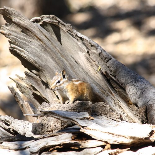 Palmer's chipmunk sitting on dead log.