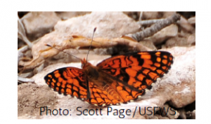 Spring Mountains acastus checkerspot an orange butterfly with black spots sitting on a rock.