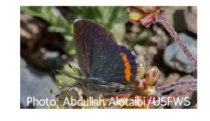 Spring Mountains blue butterfly. A dark blue butterfly with an orange stripe sitting on a plant.
