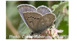 Spring Mountains icarioides blue butterfly. A light blue butterfly with black and white spots, sitting on a plant.